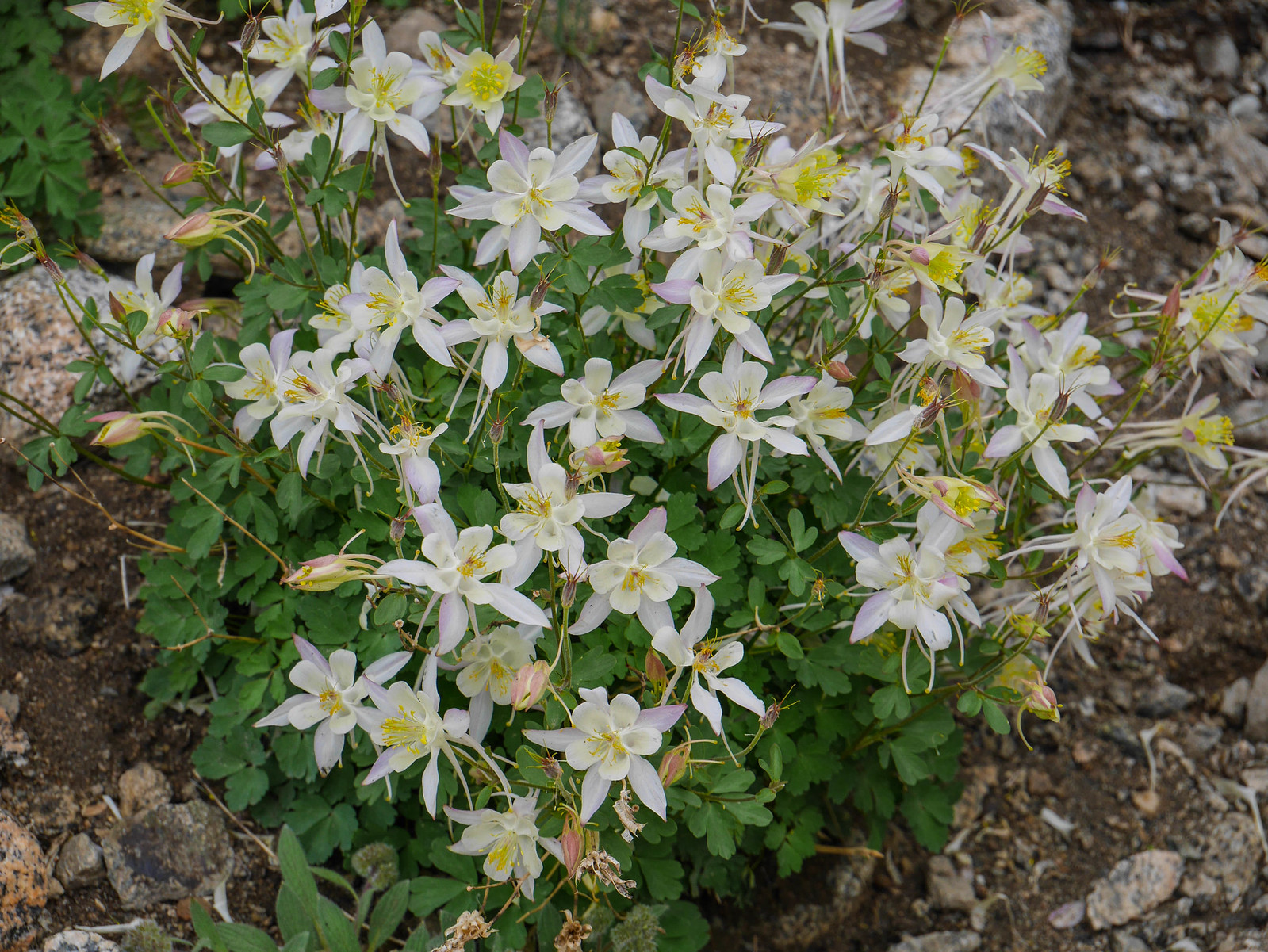 Columbine in Darwin Canyon
