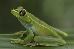 Brown Lines Tree Frog-Boana rubracyla