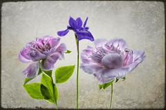 peonies-iris-texture