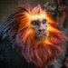 Golden-headed Lion Tamarin-5811