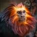 Golden-headed Lion Tamarin-5811