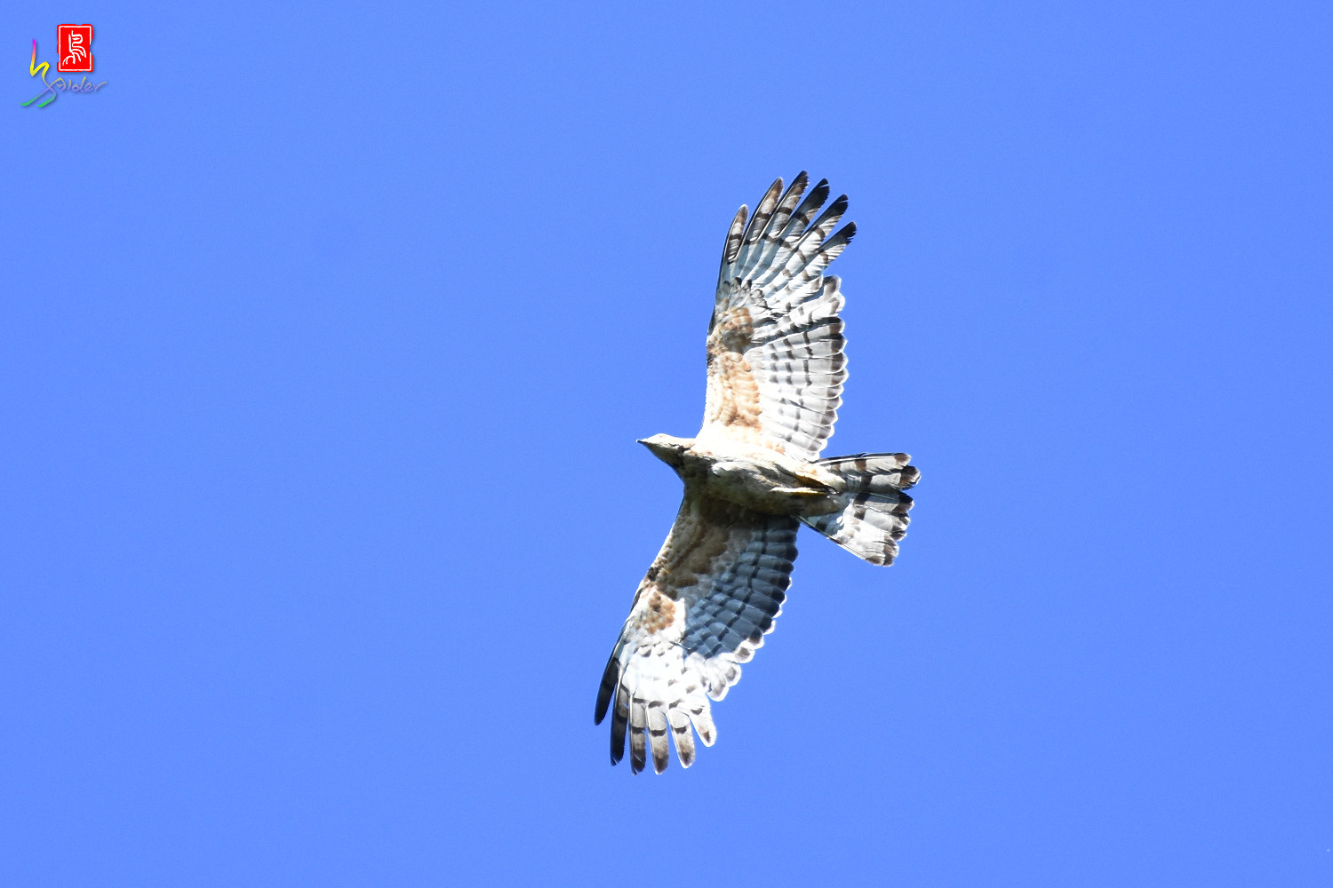 Honey_Buzzard_0227