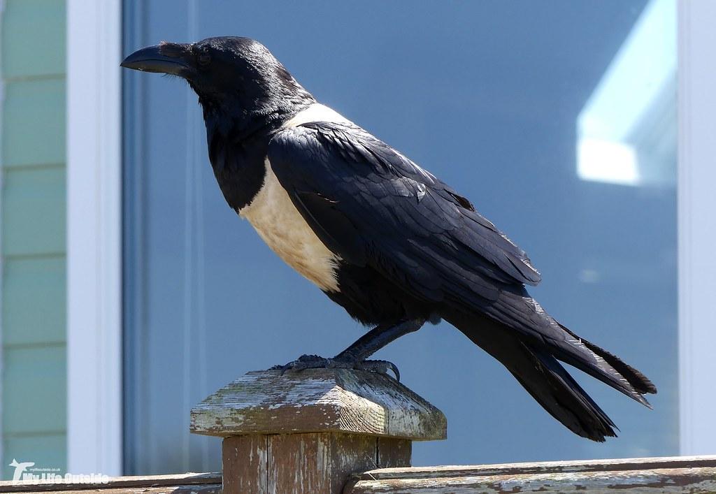 P1160033 - Pied Crow, Pembrokeshire