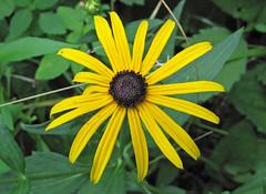 Rudbeckia hirta (black-eyed susan) (Newark, Ohio, USA) 1