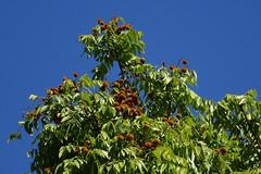 Fruiting tree - 'Foambark' - Jagera pseudorhus