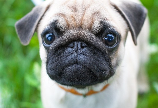 歯磨きのコツをつかんで歯周病を予防できている子犬