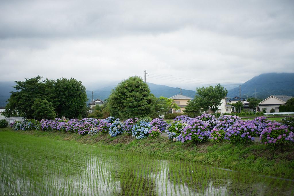2018-06-16 開成町の紫陽花 005-3