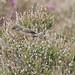 Dartford Warbler (juv f)