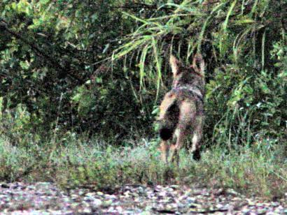Coyote crop2 20180713