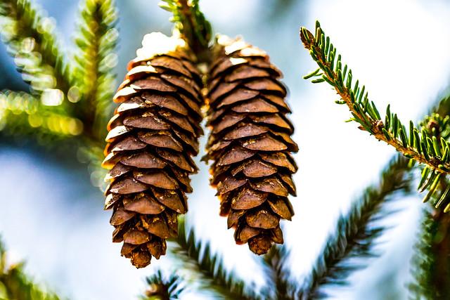 Pine Cones (Winterthur) 1