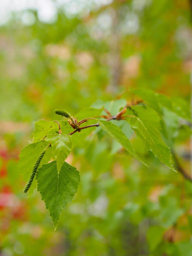 Silver birch branchlet