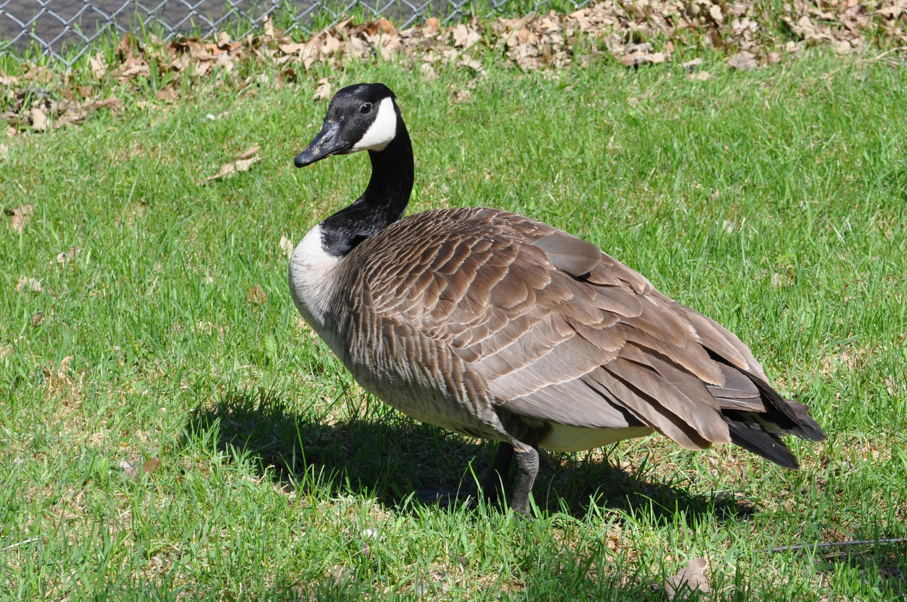 Canada goose (Branta canadensis) standing in the grass in Winnipeg, Canada, carefully watches nearby humans. Photo taken on May 23, 2016.