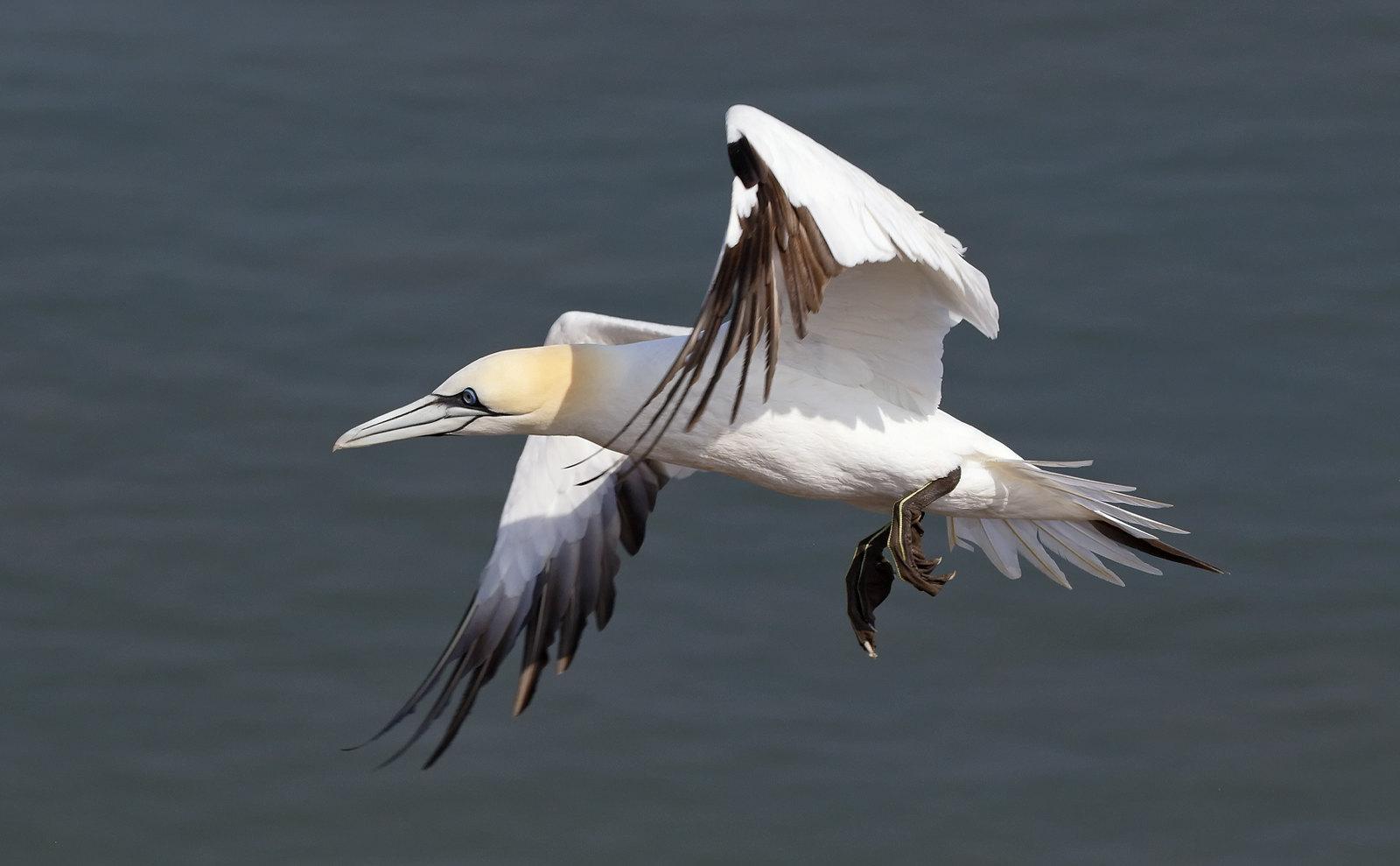 Gannet