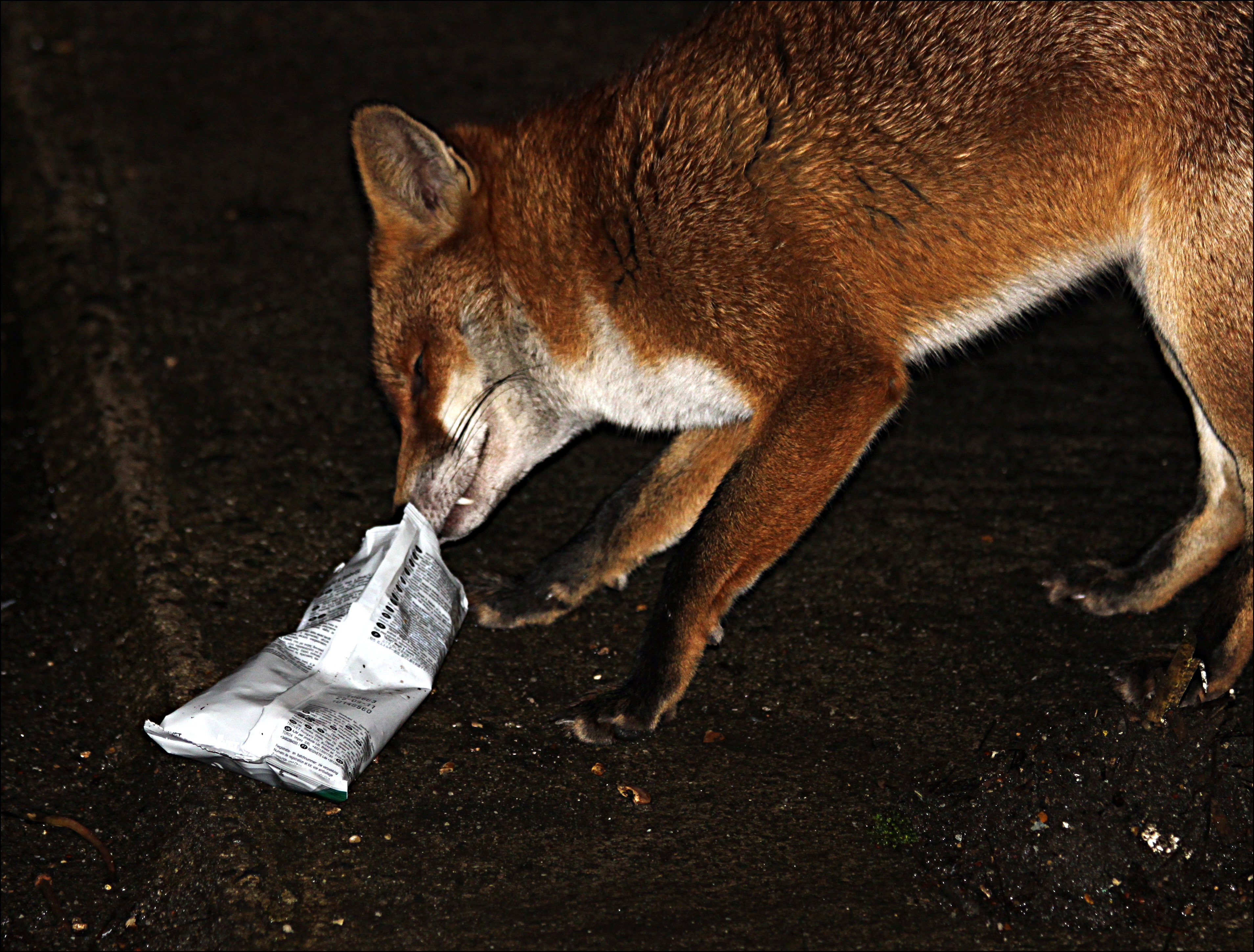 A fox eats biscuits from inside a packet. Dorset, England. Photo taken on January 23, 2012.