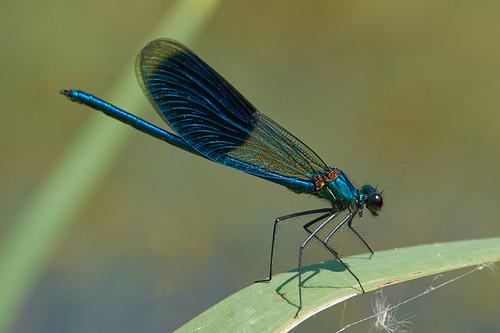 Mannetje Weidebeekjuffer, Calopteryx splendens