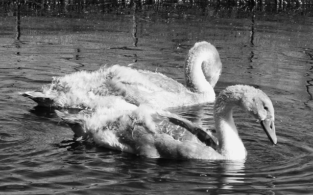 The Swan Family 05