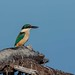 New Zealand native Kingfisher  1056 by stan sutton