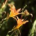 Flower - In Isabella