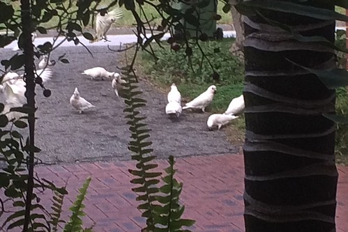White cockatoos eating olives on our driveway 11 June 2018