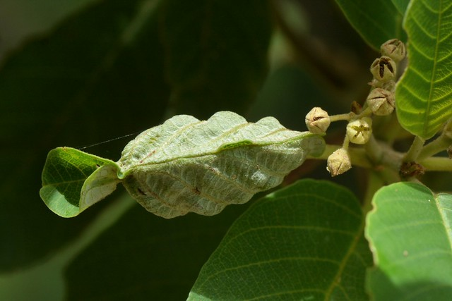 Moth-galled leaf of California Coffeeberry