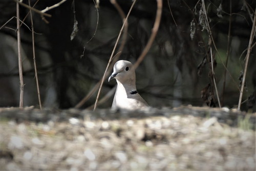 Türkentaube (Streptopelia decaocto) Turk's pigeon