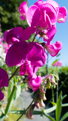 Sweet pea flowers bursting forth