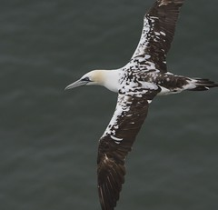 Young gannet