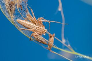 Lynx spider (Oxyopes cf. jacksoni) - DSC_5894
