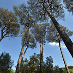 Stone pines within the grounds of Villa Ada Savoia, Rome, Italy  -  (Selected by GETTY IMAGES) - https://www.flickr.com/people/71393709@N06/