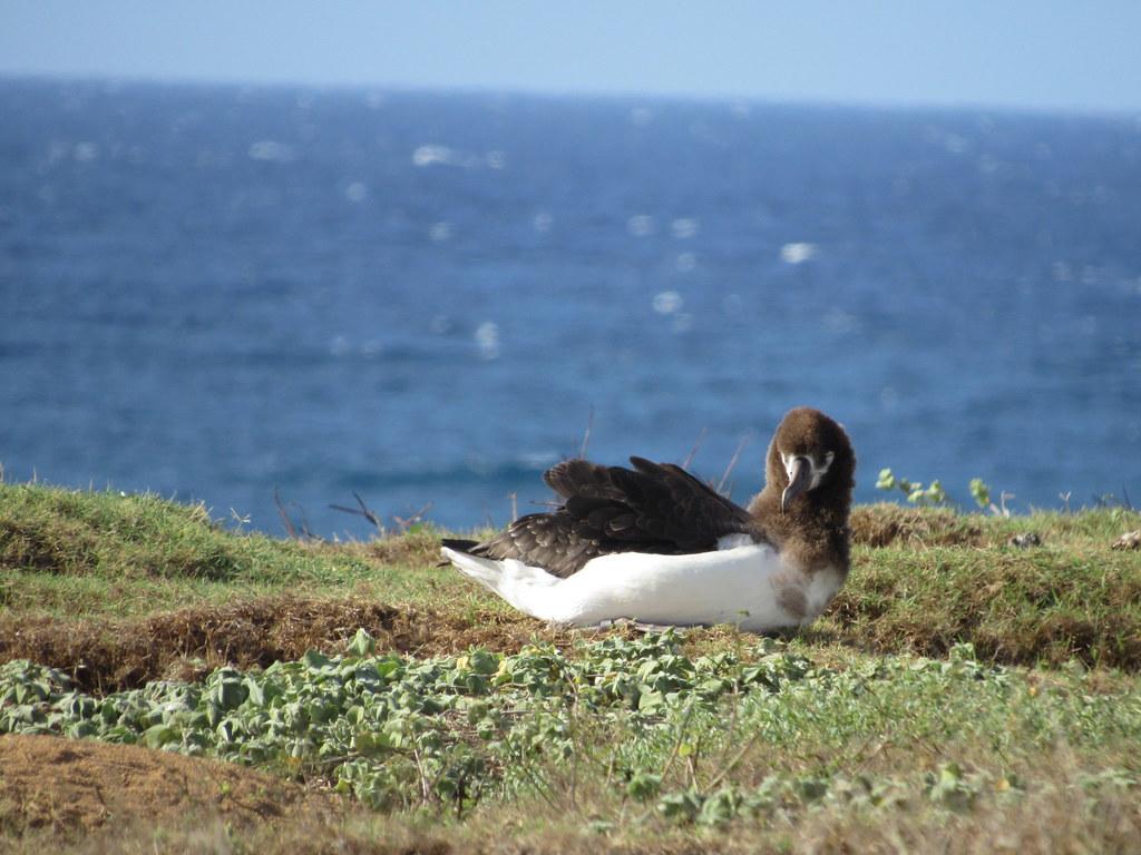 Laysan Albatross 7/14/18