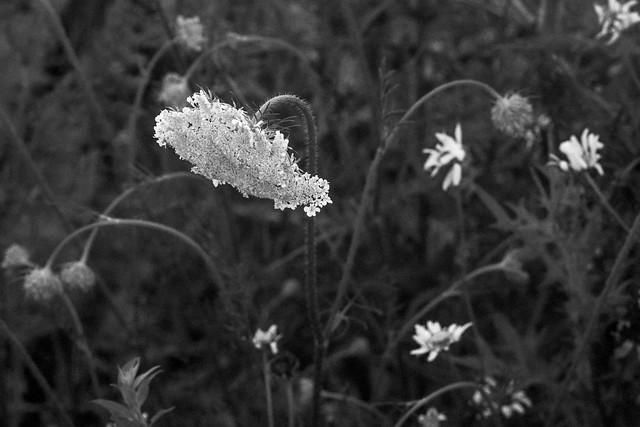 Queen Anne's Lace, daisies, Owl's Head, Maine, Nikon D3300, Mamiya Sekor 90mm f-2.8, 7.18.18