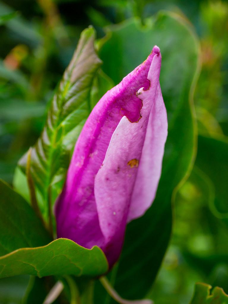 Pink magnolia bud