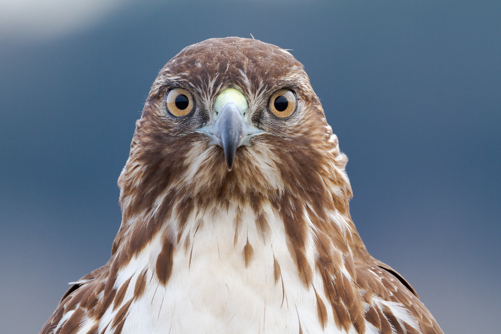 A close-up view of a juvenile red-tailed hawk looking directly at me at Ridgefield National Wildlife Refuge