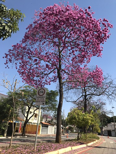 The pink trumpet tree, Tijucussu Ave. bikeway (winter 27ºC/80ºF), São Caetano do Sul, SP,  Brazil.