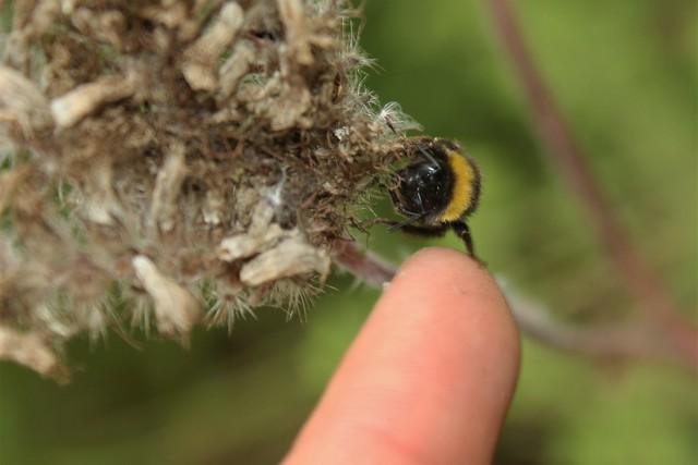 Bumblebee High Fives