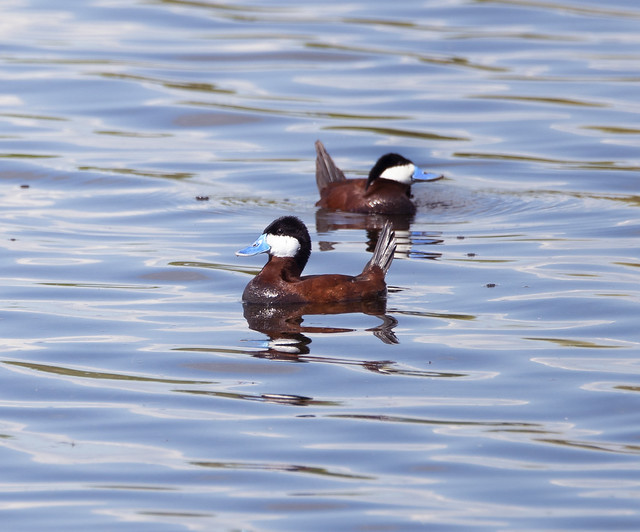 Ruddy Ducks (Explored), Sony ILCA-99M2, Sony 70-400mm F4-5.6 G SSM II (SAL70400G2)