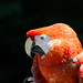 Scarlet macaw at Colchester Zoo