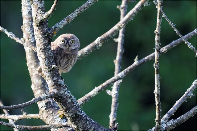 Chevêche d'Athéna - Athéna Noctua - Little Owl