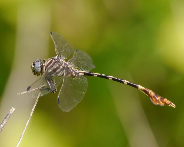 Five-striped Leaftail - 4