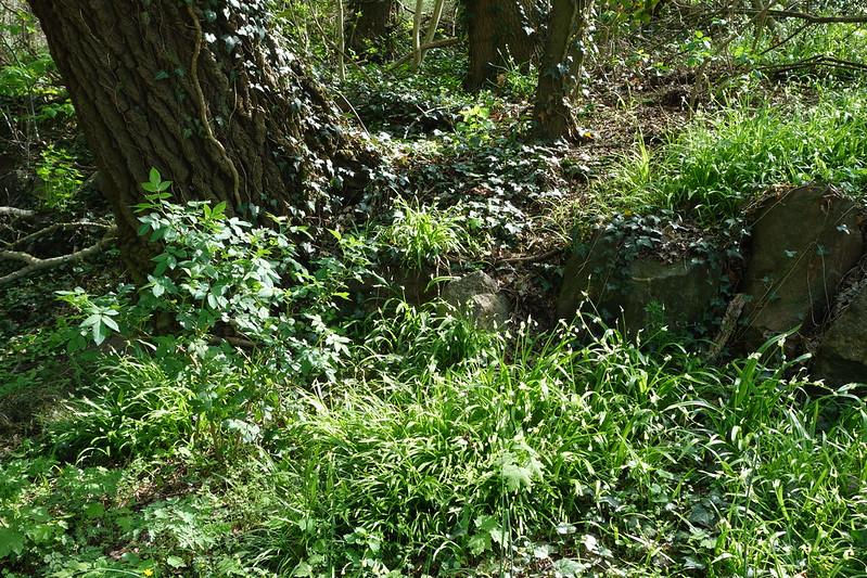 Am Ortseingang von Wustrau riecht es sehr lecker nach Knoblauch. Der Grund sind die Bärlauchfelder, die den ganzen Waldboden bedecken.