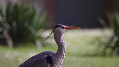 Heron thinks about fish