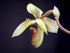 Paphiopedilum appletonianum var. hainanense