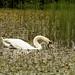 Swan & Coot