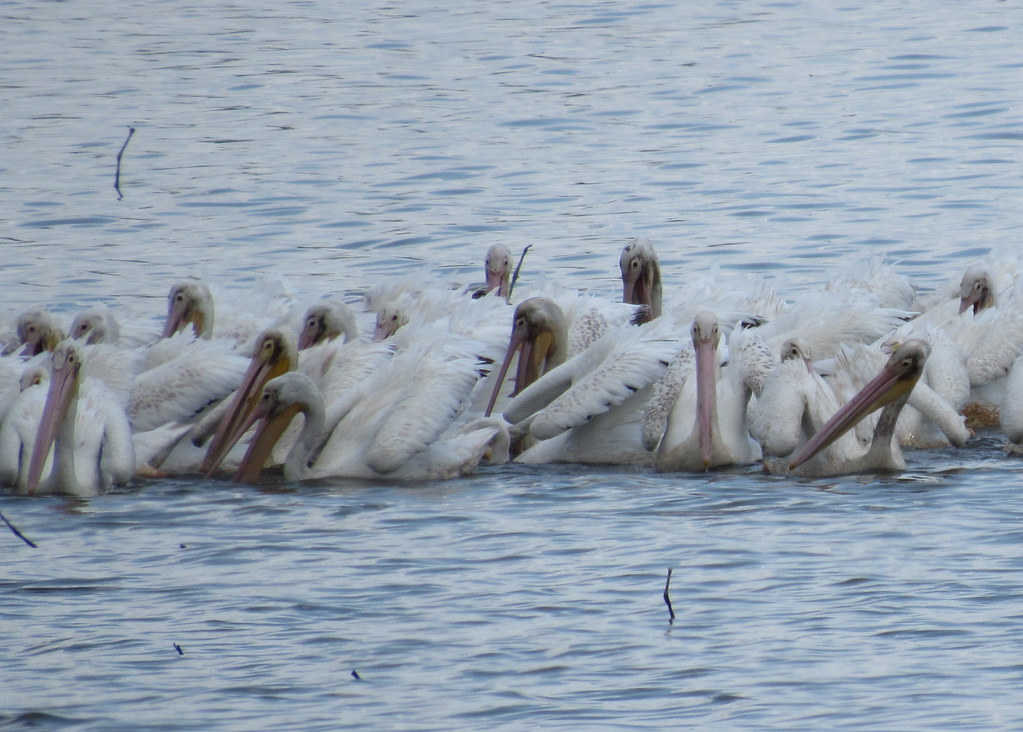 Ugly American White Pelicans