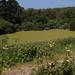 Duckweed lake