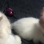 VIDEO - Becca, a chocolate mitted ragdoll girl