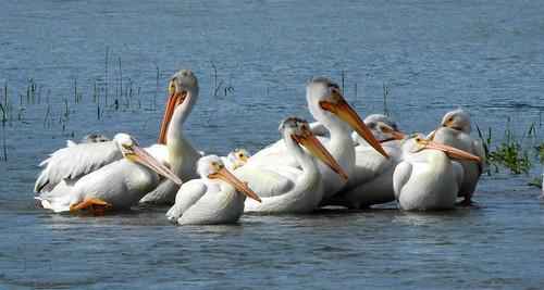 birds americanwhitepelican bankside