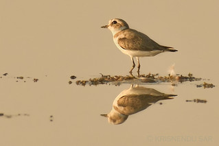 Afraid of the sky falling on head? - Kentish Plover