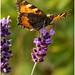 Small Tortoiseshell Butterfly. (2)