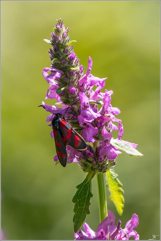 Jardin botanique Saverne: Zygene 42372079044_25f1c05d46_c